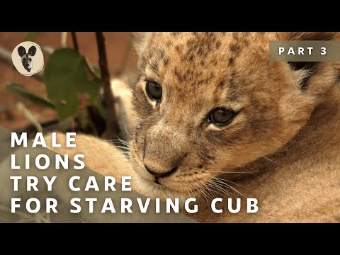Male Lions Adopt a Cub - #SafariWithBrent Season 1  Episode 7.3