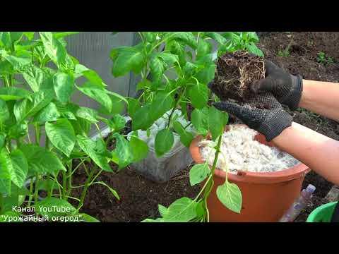 САЖАЙТЕ ПЕРЕЦ ТОЛЬКО ТАК!СЕКРЕТНАЯ ДОБАВКА В ЛУНКУ! | выращивание | вырастить | посадить | добавить | рассады | рассаду | рассада | посадки | посадка | способ