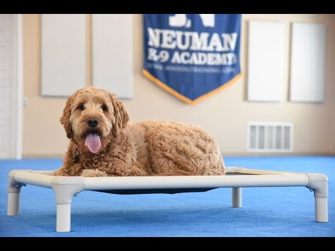 Ruby (Goldendoodle) Boot Camp Dog Training Video Demonstration