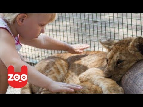 Lion Lives with Baby Girl in Australia
