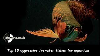 Top 10 aggressive freshwater fishes for aquarium