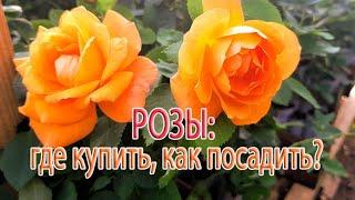 Розы: где купить, как посадить?