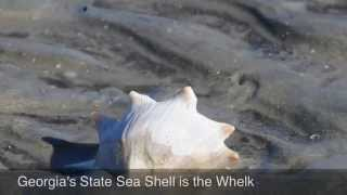 A cultural tradition - Whelk harvesting