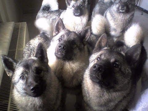 Собаки породы Норвежский элкхаунд!