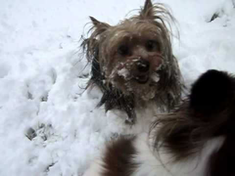 Papillons Yorkshire Terrier And Snow Youtube