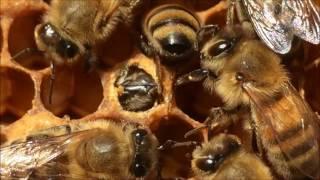 Queen bee split and emergence
