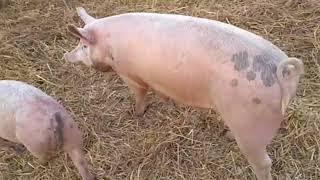 Супер кормление свиней......почти