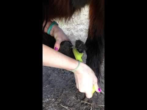How to correctly clean horses hooves
