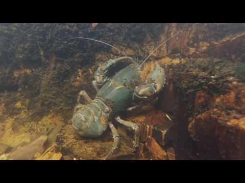 Tasmanian Freshwater Crayfish