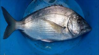 Technique De Pêche Du Sar En Bretagne