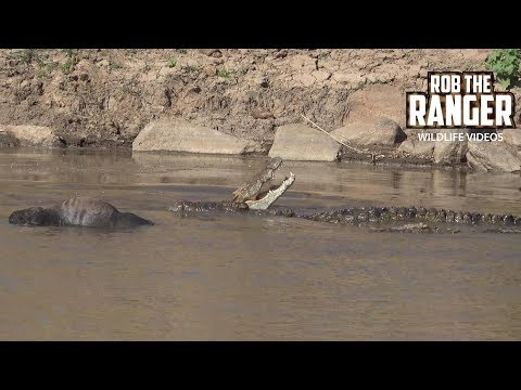 mara-river-monster-crocodiles-with-a-migration-casualty-|-maasai-mara