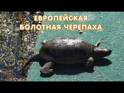 Европейская болотная черепаха (Emys orbicularis) - описание, кормление, содержание