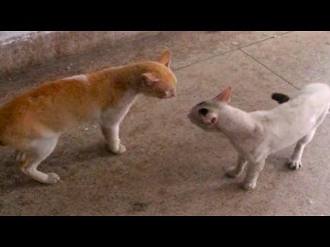 Kittens play fighting with Real sound | Funny Cats Meowing Compilation