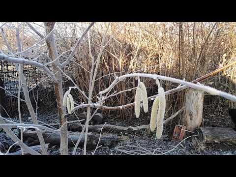 Лещина.Лесной орех на садовом участке.