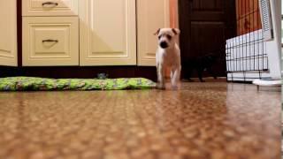 Italian Greyhound Puppies Kennel
