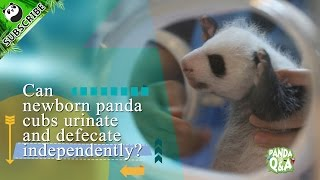 Panda Profile  Q&A Ep6 20161127 Can panda cubs go to the toilet by themselves? | iPanda