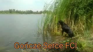 Gończe Serce FCI - Polish Hunting Dog - Hodowla Psów Rasy Gończy Polski