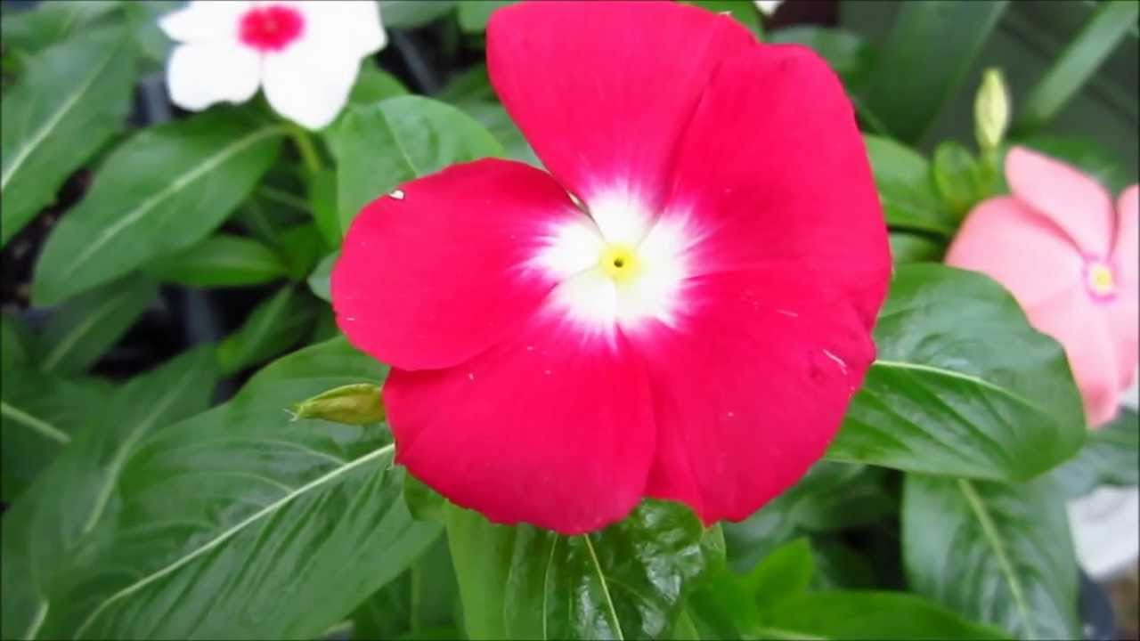 Vinca periwinkle flowers youtube vinca periwinkle flowers izmirmasajfo