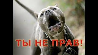 Самая опасная собака в мире Амстафф и питбуль, заводить ли эту породу собак???