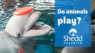 Sea Curious: Do Animals Play? Special Guests Brandt Bronico and Richard Sánchez