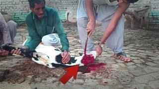 A Unique Way To Slaughter A Goat .mehar Badshah