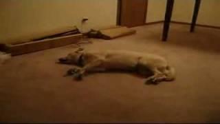 Sleep Walking Dog Runs into Wall