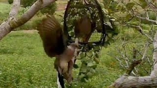 bay chim cu gay,bẫy chim cu gáy mồi cây.Ra trận khi e ấy đã hoàn lông...