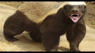 الغرير (غريري) يستطيع قتل كلب حيوان قوي وجميل جدا مع جمال العمواسي