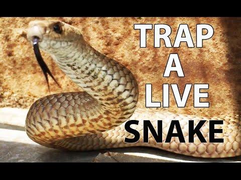 How to Trap a LIVE VENOMOUS SNAKE