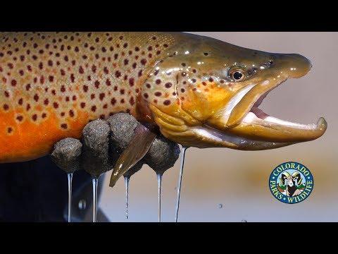 Big Brown Trout In Colorado