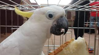 Cute White parrot eats Bread | Cuckatoo | For bird lovers!