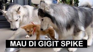 SPIKE MAU GIGIT ANJING KECIL !!! - Vlog
