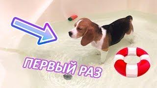 ПЕРВОЕ В ЖИЗНИ ПЛАВАНЬЕ БИГЛЯ, ПОПИСАЛА В ВАННУ???///тип VLOG# щенок бигля плавает