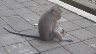 Обезьяна укусила ребенка! Священный лес обезьян (The Sacred Monkey Forest)