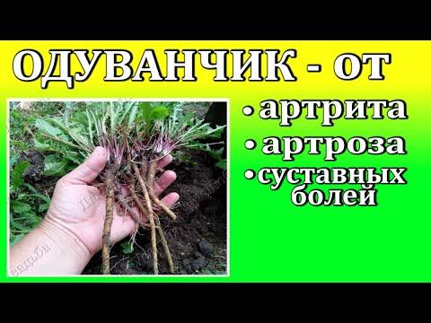 Лекарственные травы    Одуванчик для лечения артритов, артрозов,остеохондроза,болей в суставах