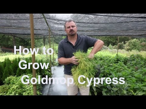 How To Grow Goldmop Cypress With Detailed Planting And Care Instructions