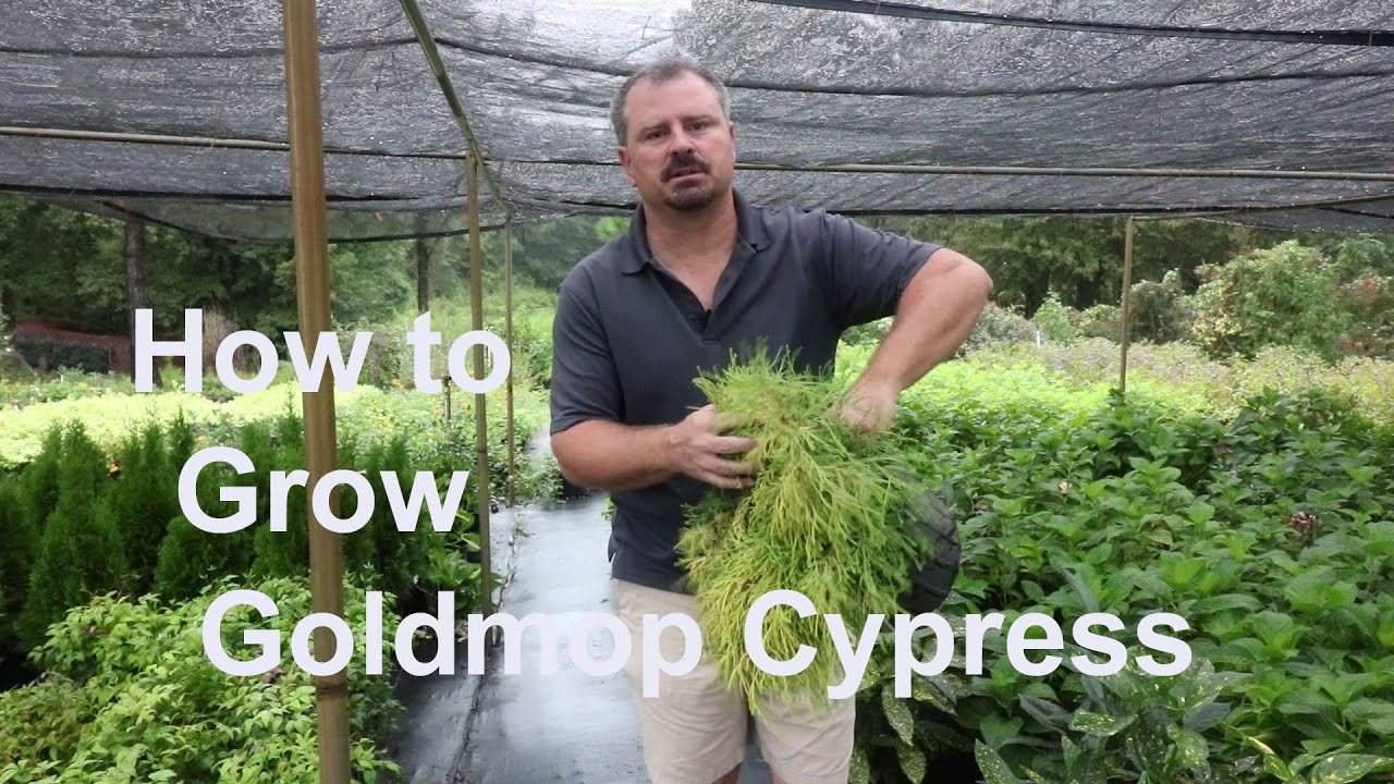 golden mop cypress planting instructions