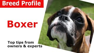 Boxer Dog Breed Guide