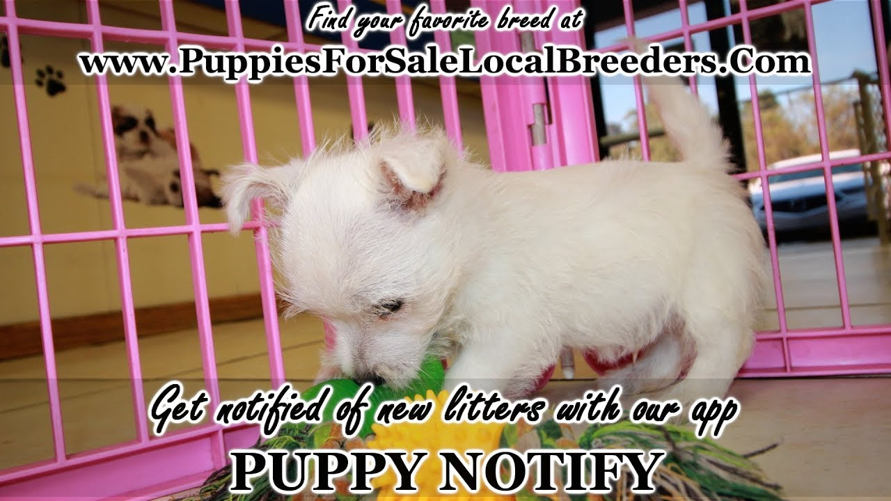 Westie Highland Terrier Puppies For Sale Georgia Local Breeders