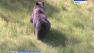 Лицом к лицу с медведем. Чего ищет дикий зверь вблизи человеческих поселений?