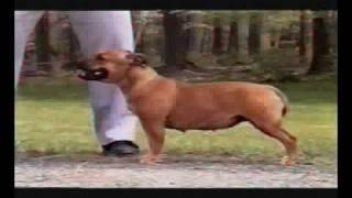 Staffordshire Bull Terrier Standrad Video 2 Rész