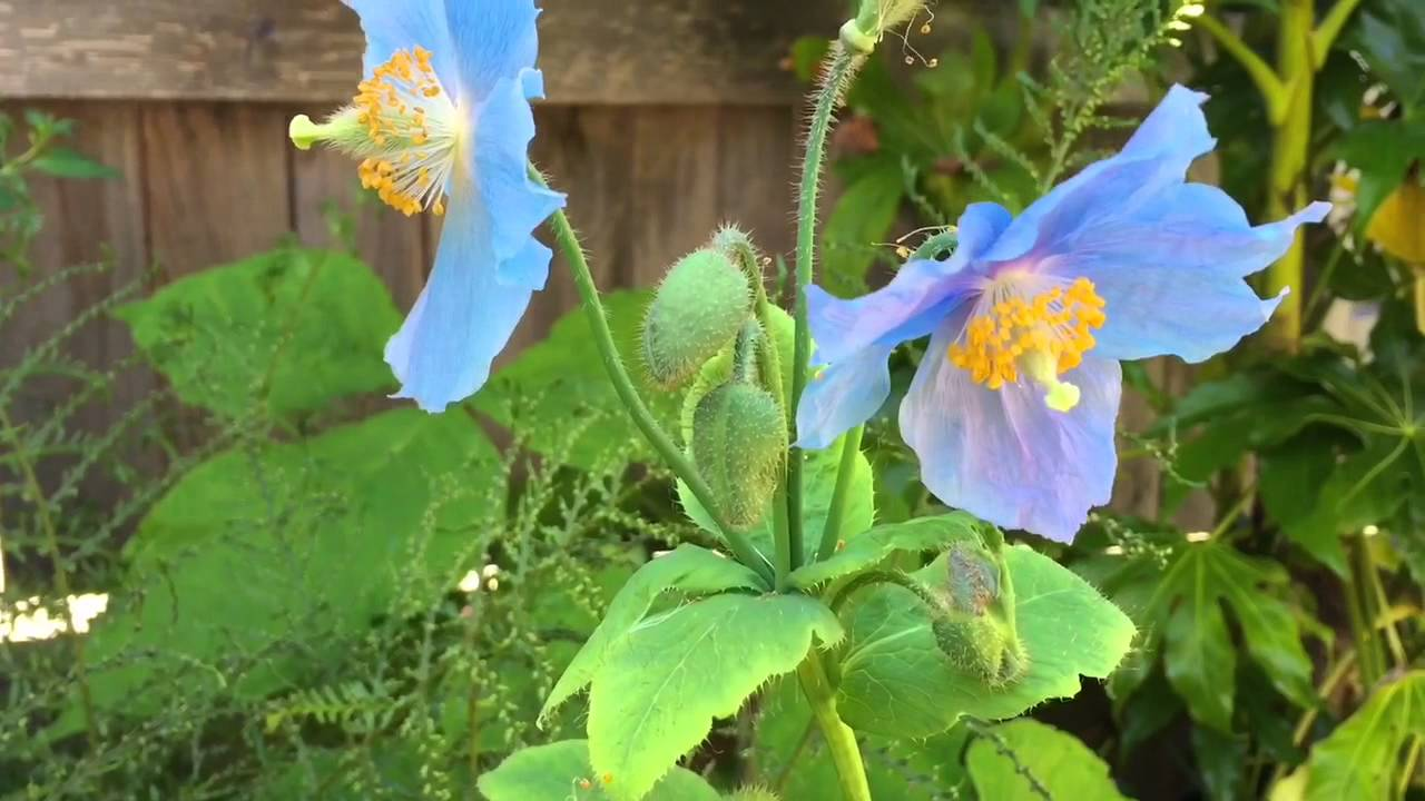 Blue Poppy Seed Grown Himalayan Blue Poppy Care Tips First Blooms