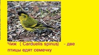 Чиж (Carduelis spinus) - две птицы едят семечку  (снято на Sony HDR-AS20)