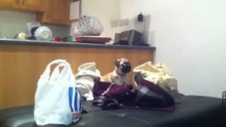 Rupert Eli - Pug Puppy Barking At Rucksack.