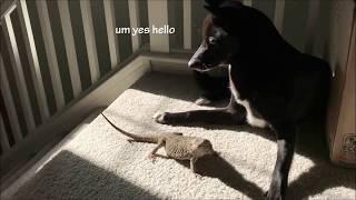 shiba dog doesnt know how to act near bearded dragon