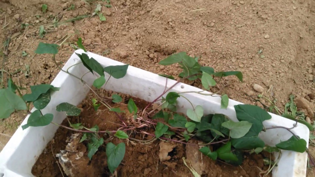 さつま芋の苗を種芋から作りました - YouTube