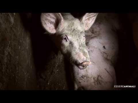 Prosciutto Crudele di Parma - Un'indagine shock di Essere Animali