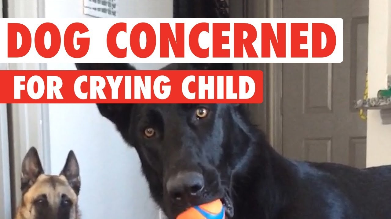 German Shepherd Has Hilarious Reaction To Crying Baby Youtube