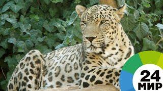 Леопарды в Приморье отметили знакомство дракой - МИР 24