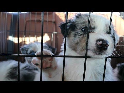 Australian Shepherd Puppies: Week 6
